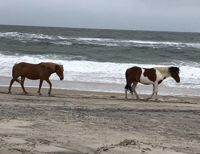 Assateague Island Ponies walking on the beach
